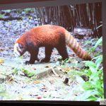 24.Panda czerwona