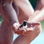 22a. Piotr Chara z uratowanym pisklakiem ostrygojada