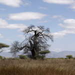 Tanzania - olbrzymie baobaby.